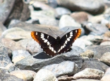 Steider Studios: Lorquin's Admiral butterfly at Dog Mountain Creek